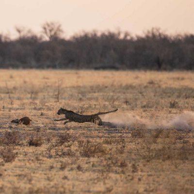 Nxai pan cheetah