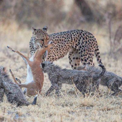 Nxai pan cheetah kill