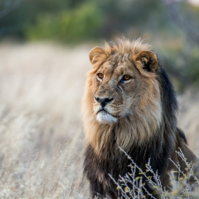 Real Kalahari Lion