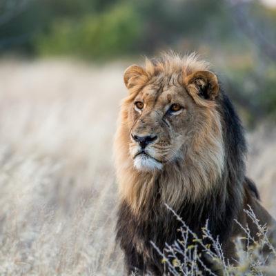Real Kalahari Lion