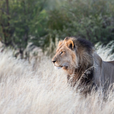 Kalahari Lion at Tau Pan