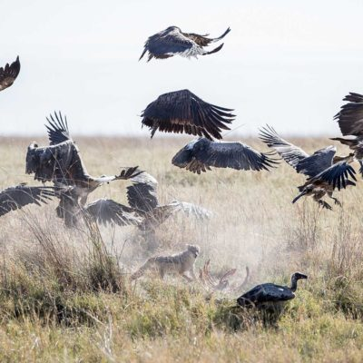 Jackal vs vultures