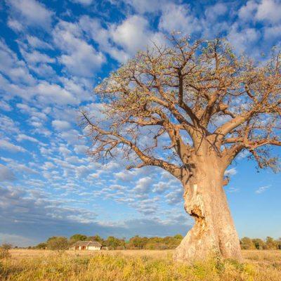 Kwando Nxai Pan baobab 2
