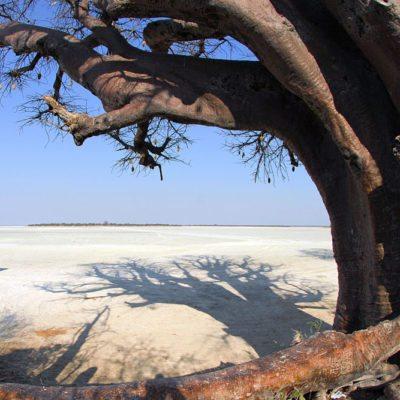 Kwando Nxai Pan baobab