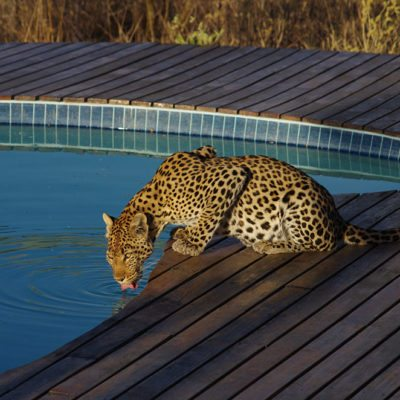 Kwando Tau Pan leopard at pool