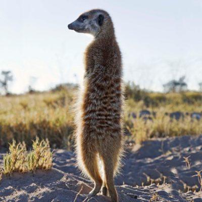PB - Meerkat