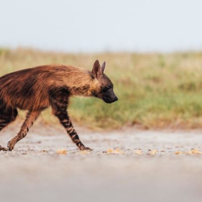 Wildlife - Brown hyena 1