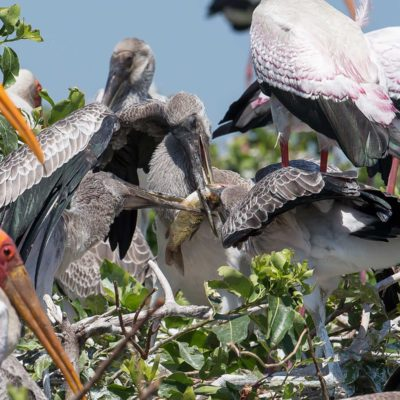 YB stork nest