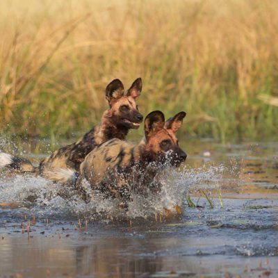 dogs-cross-water