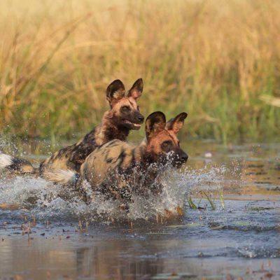 dogs-cross-water