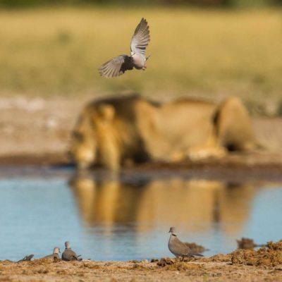 dove-lion NXAI