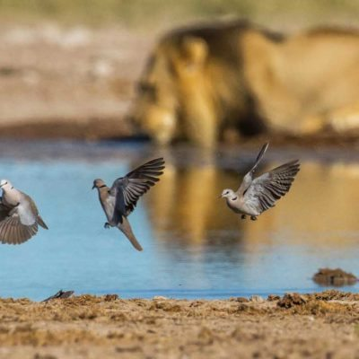dove-lion NXAI2