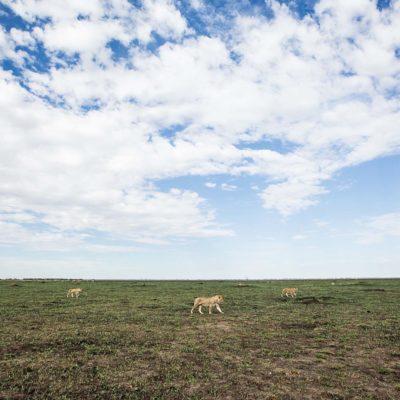 lions on marsh
