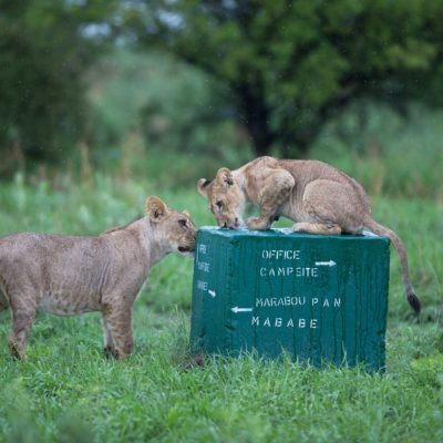 lions on sign block