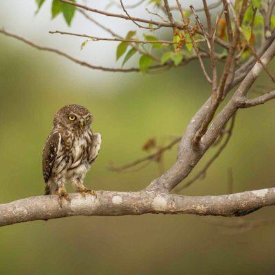 pS owl