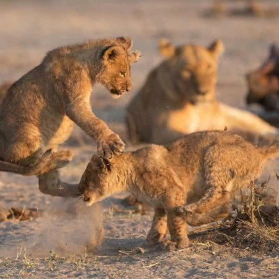 savuti game lion cubs