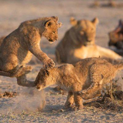 savuti game lion cubs