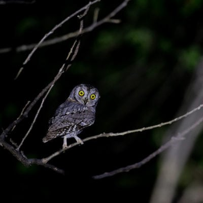 scops owl (1 of 1)