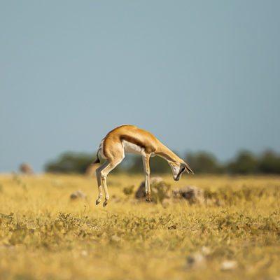 springbok-Edit