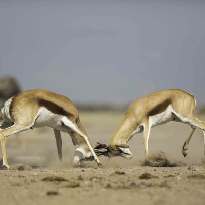 springbok fight