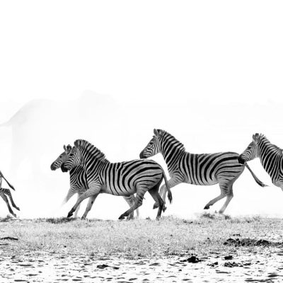 zebras-BW-Hero-image