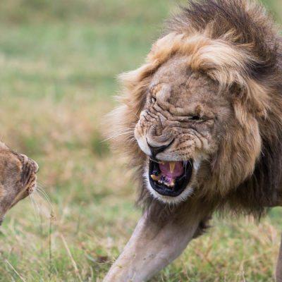 lion mate 3