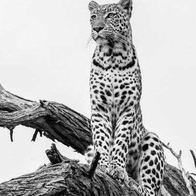 BW leopard 2