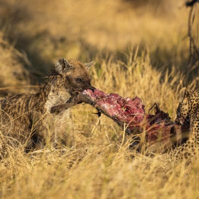 hyena and leopard