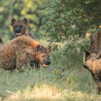 hyena - dog 2