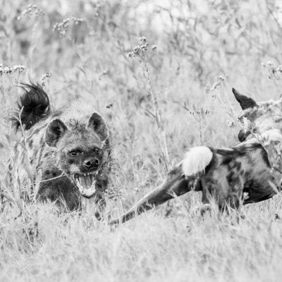 hyena - dog BW
