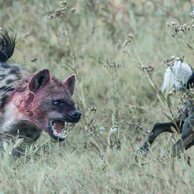 hyena - dog_
