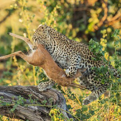 leopard and steenbok