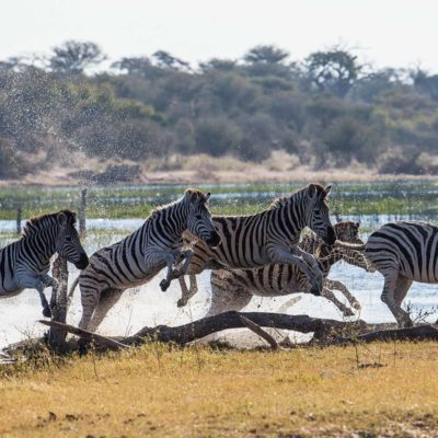 zebra water 2