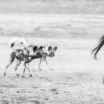 Dogs vs zebras BW