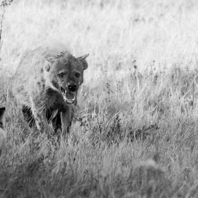 hyena-dog-3