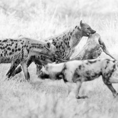 hyena-dog-BW-3-1