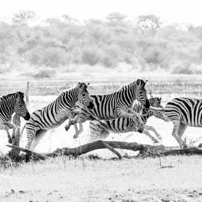 zebra water 2 BW