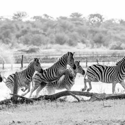 zebra water BW