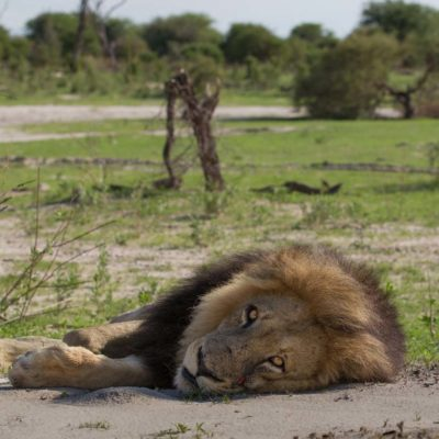 Chitabe_-_Lion_3
