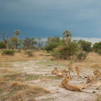 Chitabe_-_Lions_2
