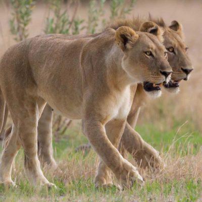 Chitabe_-_Lions_4